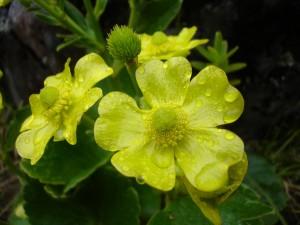 Hairy alpine buttercup in full flower