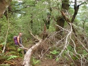 Murray McIndoe negotiating tree fall on the Parks Peak Track