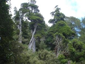 Spectacular Mountain Cedar