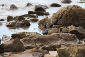 A sea bird (name pending)