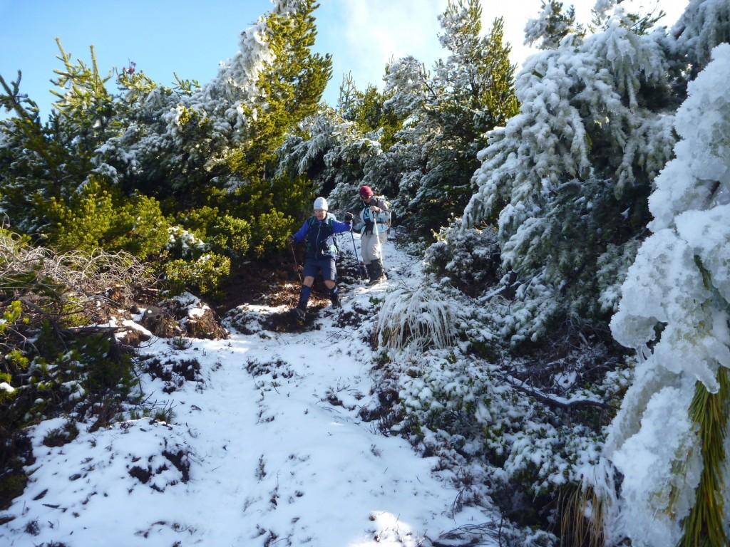 John D and Eileen descending from the tops, through snow laden pinus contorta