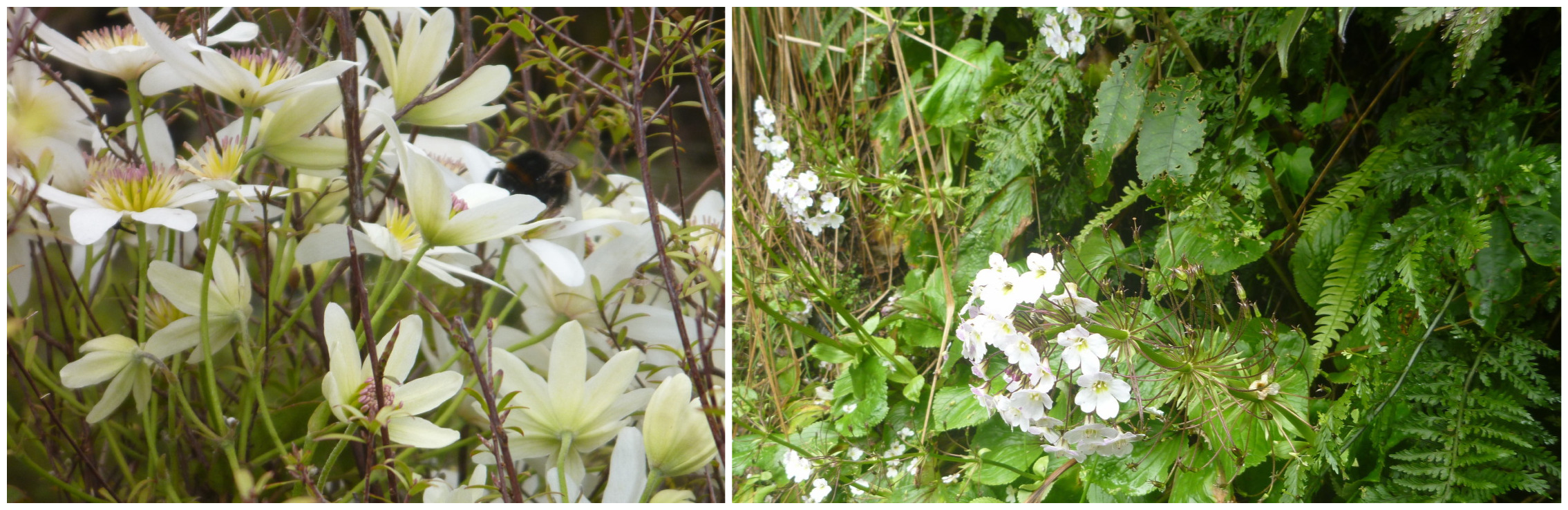 The native Clematais (left) and Oursia (right)